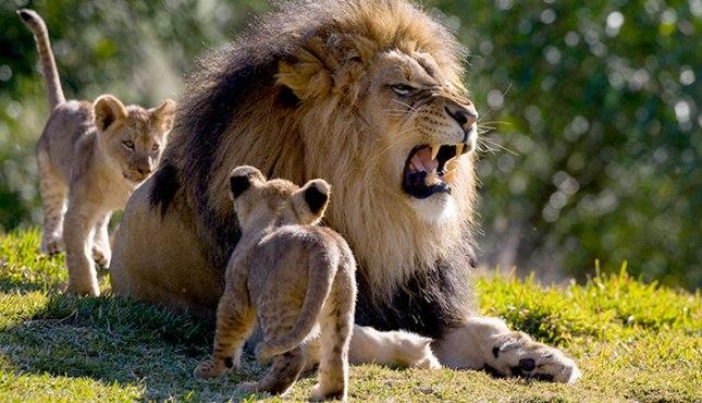 Leão e filhotes