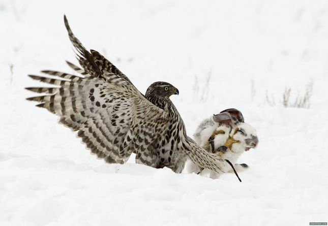 Falcão ataca uma lebre